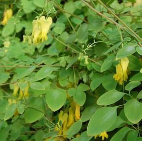 Gelbe kletternde Herzblume - Dicentra scandens