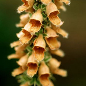 Fingerhut Gelber Herold - Digitalis ferruginea
