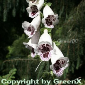 Fingerhut Pams Choice - Digitalis purpurea