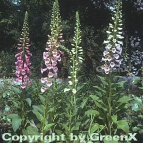 Roter Fingerhut - Digitalis purpurea