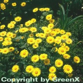 Gemswurz Little Leo - großer Topf - Doronicum orientale