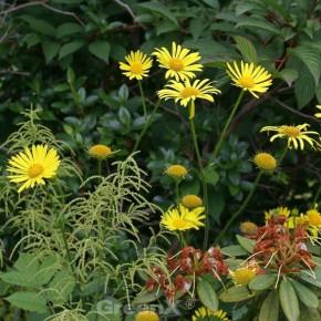 Strauß Gämswurz Goldstrauß - Doronicum pardalianches