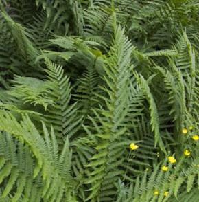 Mediterraner Wurmfarn - Dryopteris clintoniana