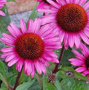 Roter Sonnenhut Fatal Attraction - Echinacea purpurea