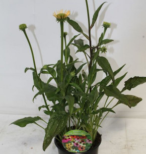 Sonnenhut Cheyenne Spirit - großer Topf - Echinacea cultorum