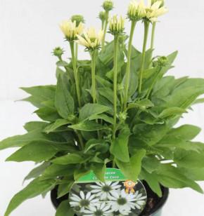 Sonnenhut Conetto Coco - großer Topf - Echinacea cultorum