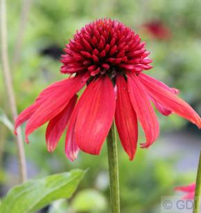 Sonnenhut Dixi Scarlet - großer Topf - Echinacea purpurea