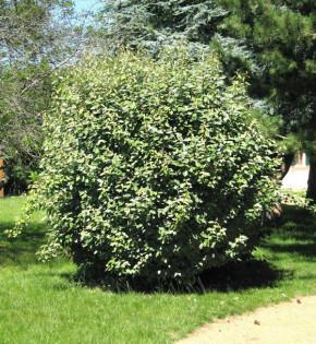 Wintergrüne Ölweide Compacta 40-60cm - Elaeagnus ebbingei