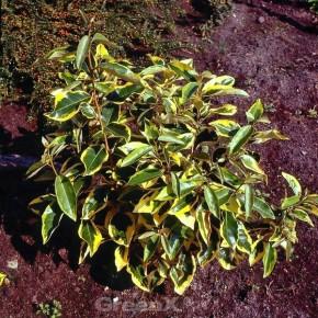 Wintergrüne Ölweide Gilt Edge 60-80cm - Elaeagnus ebbingei
