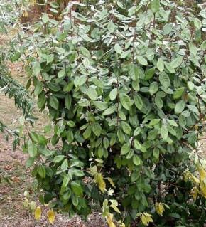 Wintergrüne Ölweide 40-60cm - Elaeagnus ebbingei