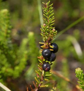 10x Schwarze Krähenbeere Typ Norge - Empetrum nigrum