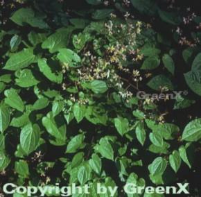Alpen Elfenblume - Epimedium alpinum