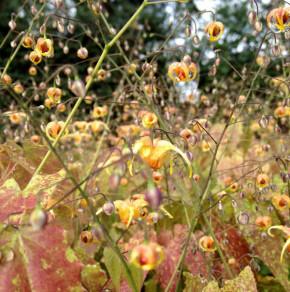 Cambridge Elfenblume - Epimedium cantabrigiense