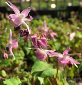 Elfenblume Akebono - Epimedium grandiflorum