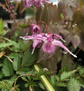 Elfenblume Purple Pixie - Epimedium grandiflorum