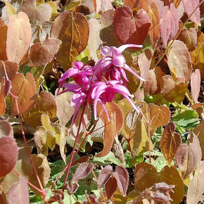 Elfenblume Rose Queen - Epimedium grandiflorum