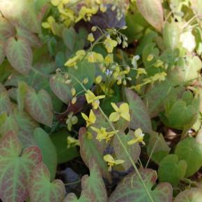 Elfenblume Lichtenfels - Epimedium perralchicum