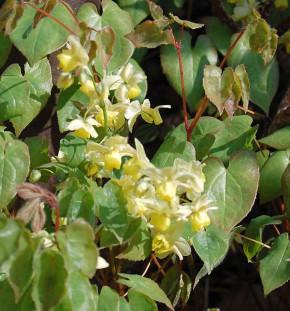Elfenblume Neosulphureum - Epimedium versicolor