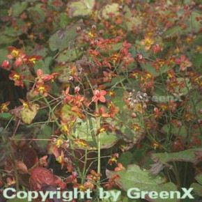 Elfenblume Kupfer - Epimedium warleyense