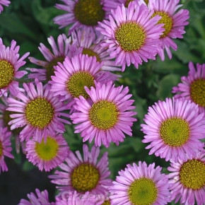 Berufkraut Sea Breeze - Erigeron glaucus