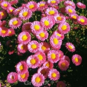Feinstrahlaster Rosa Triumph - Erigeron cultorum