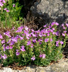 Alpenbalsam Dr Hähnle - Erinus alpinus