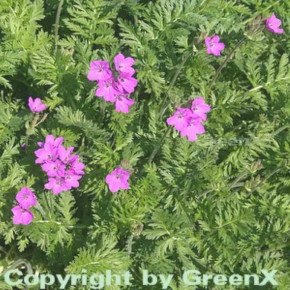 Pyrenäen Reiherschnabel - Erodium manescavii