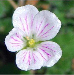 Reiherschnabel Album - Erodium reichardii