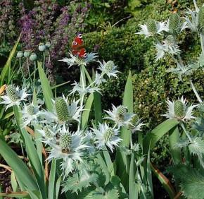 Elfenbeindistel Silver Ghost - Eryngium giganteum