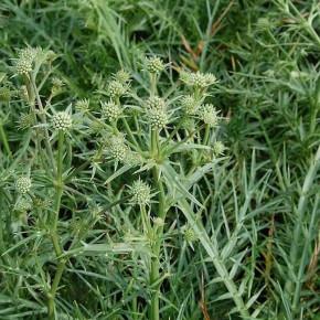 Edeldistel - Eryngium venustum
