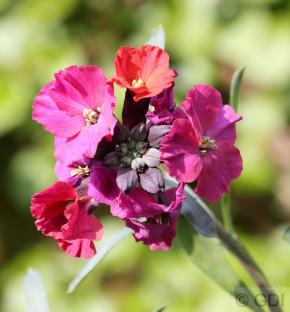 Goldlack Purple Jep - Erysimum cheir