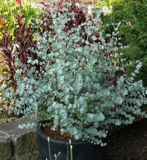 Winterharter Eukalyptus Azura 60-80cm - Eucalyptus gunnii