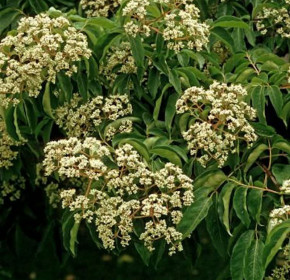 Bienenbaum 40-60cm - Euodia hupehensis