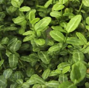 Kriechspindel Coloratus 30-40cm - Euonymus fortunei
