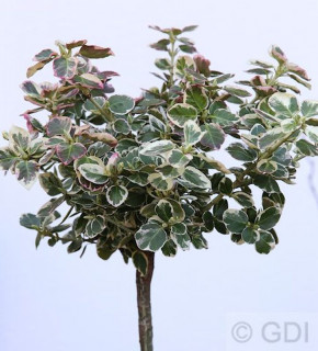 Hochstamm Weißbunte Kriechspindel 40-60cm - Euonymus fortunei