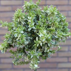 Hochstamm Kriechspindel Harlequin 60-80cm - Euonymus fortunei