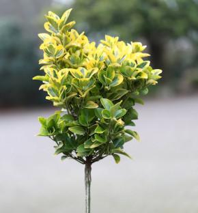 Hochstamm Kriechspindel Canadale Gold 60-80cm - Euonymus fortunei
