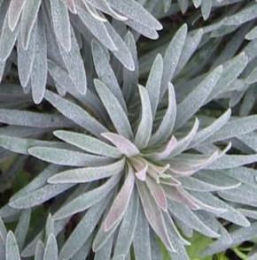 Palisaden Wolfsmilch Blue Wonder - Euphorbia characias