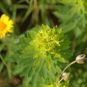 Nizza Wolfsmilch - Euphorbia nicaeensis