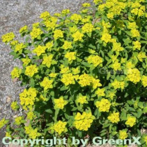 Gold Wolfsmilch - Euphorbia polychroma