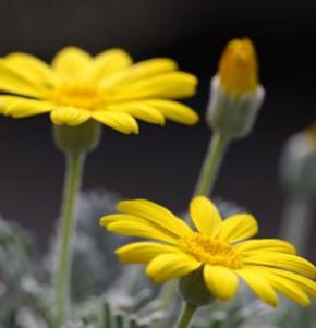 Gelbe Strauchmargerite - Euryops chrysanthemoides