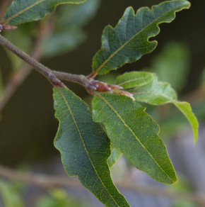 Kleine farnblättrige Buche Sandrode 60-80cm - Fagus sylvatica