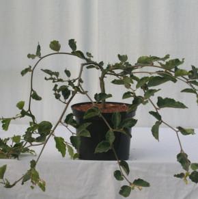 Hochstamm Süntelbuche Gespensterbuche 100-125cm - Fagus sylvatica