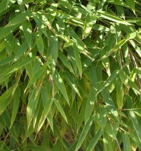 Mähnenbambus Green Lion® 100-125cm - Fargesia