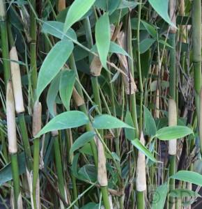 Elfenbeinbambus Ivory Ibis® 100-125cm - Fargesia murielae