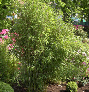 Gartenbambus Simba 80-100cm - Fargesia murielae