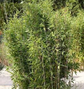 Gartenbambus Obelisk® 80-100cm - Fargesia nitida
