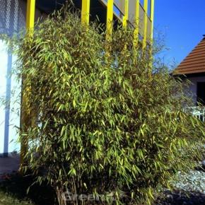 Schwarzer Gartenbambus 40-60cm - Fargesia nitida