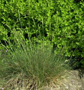 Regenbogenschwingel - Festuca amethystina