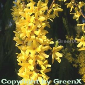 Forsythie Melee dOr 30-40cm - Forsythia